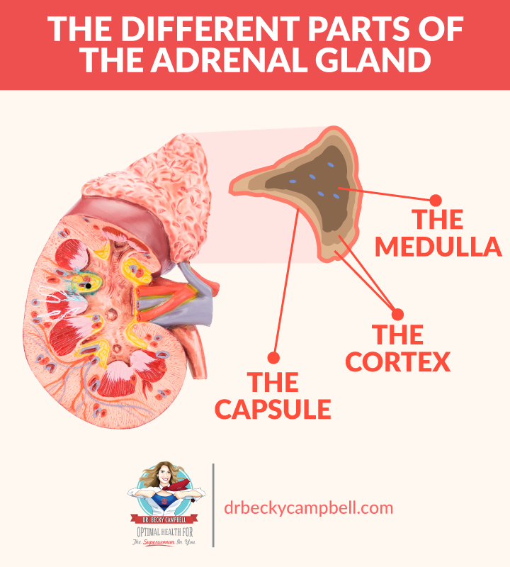 How The Adrenals Affect The Thyroid Dr Becky Campbell